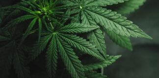 Czy warto kupować tanie nasiona marihuany